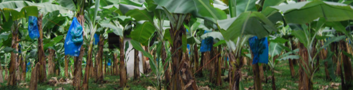 In the first four months of 2021, the commercialisation of banana decreased by 8.3% year-on-year (Read more...)