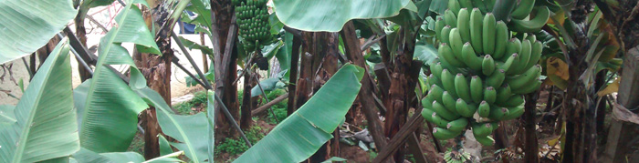 In the first eight months of 2021, the commercialisation of banana decreased by 6.0% compared to the same period of 2020 (Read more...)